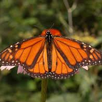 Image for Topeka - Kansas Museum of History - Monarch butterflies