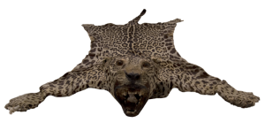 Front view of jaguar rug