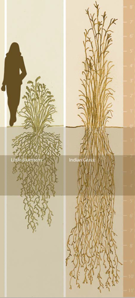 Comparison chart for root systems of prairie grasses.