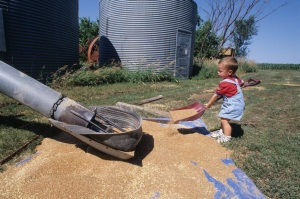 Dakota Caldwell shoveling wheat at Chapman, 1998