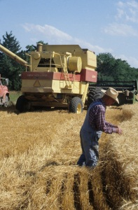 Alvin Hoover, Chapman, checks wheat during 1998 harvest.