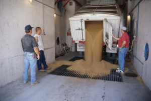Workers unload a semi-truck  filled with grain at the Mulvane elevator, 1998.