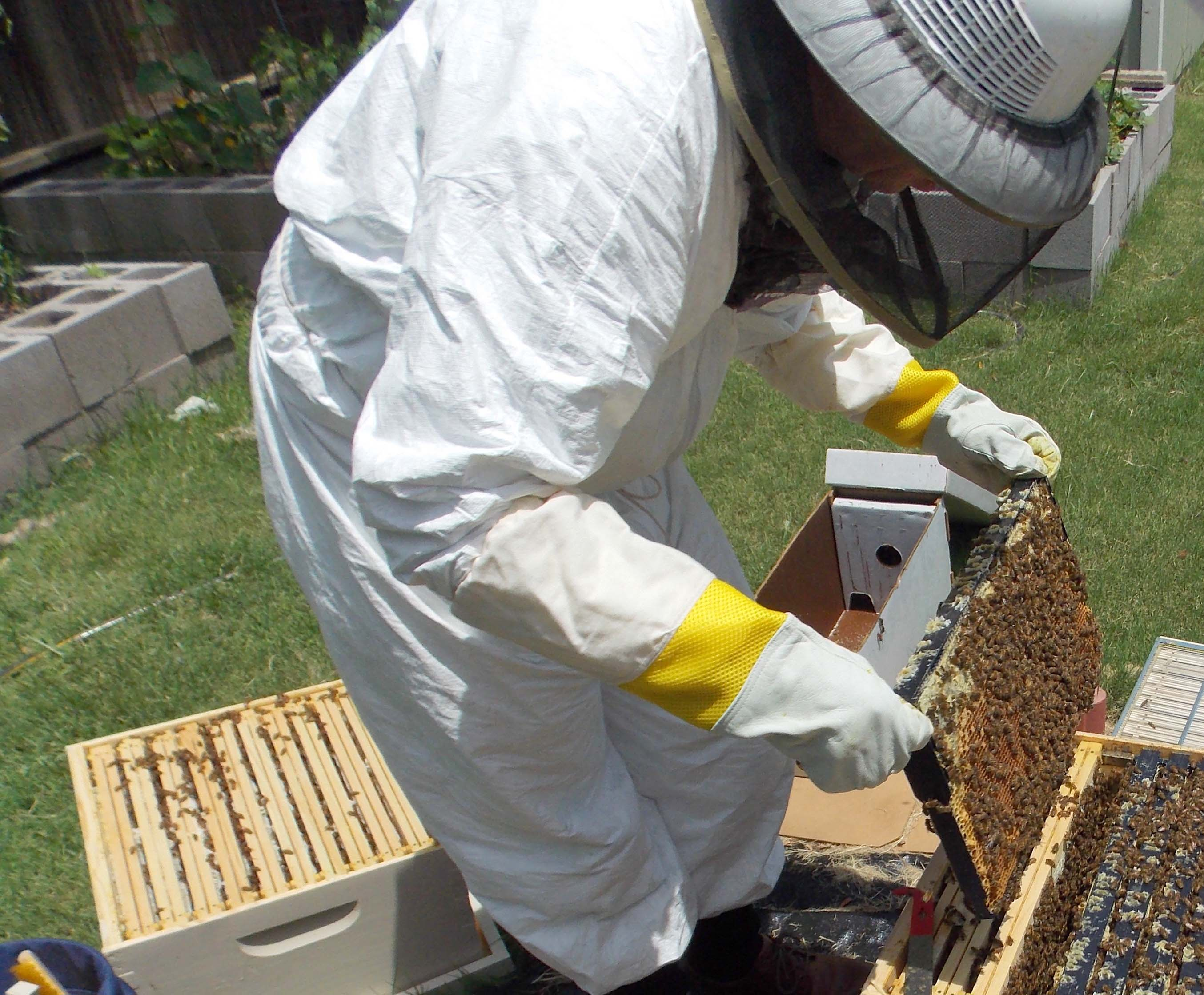 Beekeeper wearing protective clothing tends to her bees.