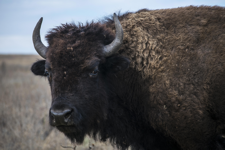 Beautiful Kansas Bison