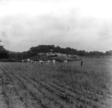 Prisoners working in an onion field at the Kansas State Penitentiary in Lansing, 1920s