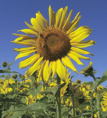 Sunflower - Kansapedia - Kansas Historical Society