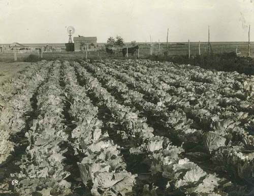Cabbage garden in Haskell County