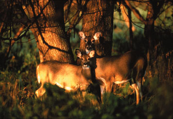 White-tail deer hide among the trees in eastern Kansas woodlands