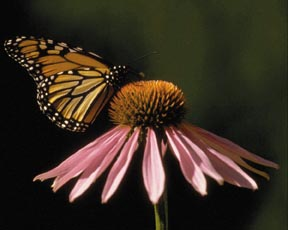 Several elementary schools in Kansas have planted butterfly gardens.
