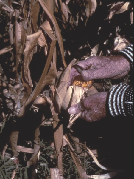Husking corn with a husking hook